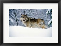 Framed Gray Wolf in Snow