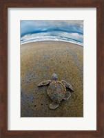 Framed Green Sea Turtle, Tortuguero, Costa Rica