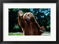Framed Grizzly Bear On Hind Legs