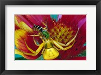 Framed Goldenrod Crab Spider