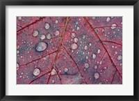 Framed Water Droplets on Maple Leaf