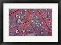 Framed Water Droplets on Maple Leaf