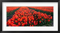 Framed Rows of Red Tulips in bloom, North Holland, Netherlands