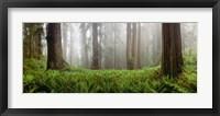 Framed Vine Maple Trees, Mt Hood, Oregon