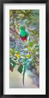 Framed Resplendent Quetzal, Costa Rica