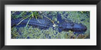 Framed Alligator Swimming in a River, Florida