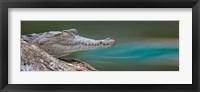 Framed American Crocodile, Costa Rica