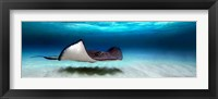 Framed Southern Stingray, Grand Cayman, Cayman Islands