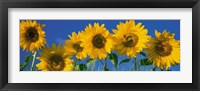 Framed Sunflowers in a Row