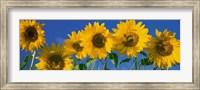 Framed Sunflowers in a Row