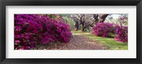 Framed Magnolia Plantation and Gardens, Charleston, South Carolina