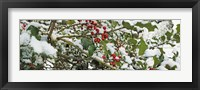 Framed Holly Berries Covered in Snow