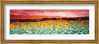 Framed Sunflowers, Corbada, Spain