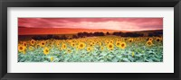 Framed Sunflowers, Corbada, Spain