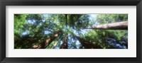 Framed Muir Woods, Redwoods, CA