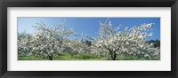 Framed Apple Blossom Trees, Norway