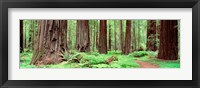 Framed Avenue Of The Giants, Founders Grove, California