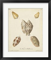 Framed Antique Knorr Shells III