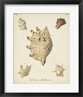 Framed Antique Knorr Shells IV