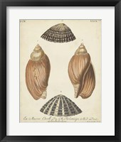 Framed Antique Knorr Shells V