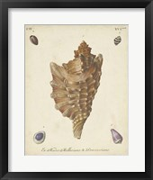 Framed Antique Knorr Shells VI