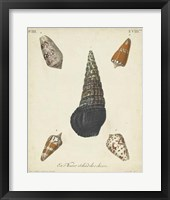 Antique Knorr Shells VIII Framed Print