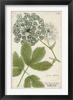 Framed Queen Anne's Lace