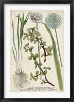 Framed Allium