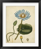 Framed Blue Water Lily