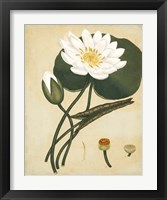 Framed White Water Lily