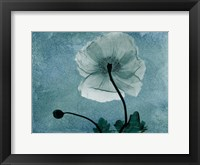 Iceland Poppy Framed Print