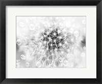 Framed B/W Dandelion