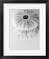 Framed Urchins