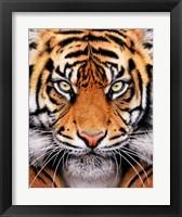 Framed Tiger Face