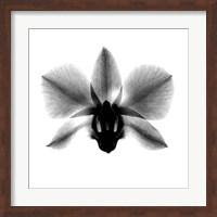 Framed Orchid, Phalenop. X-Ray