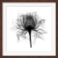 Framed Rose,Open #2 X-Ray