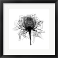 Rose,Open #2 X-Ray Framed Print