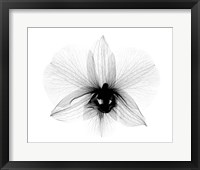 Framed Dendrobium 2  X-Ray Orchid