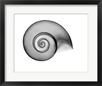 False Ramshorn X-Ray Framed Print