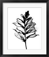 Framed Foxglove X-Ray
