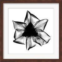 Framed Iris, Japanese X-Ray
