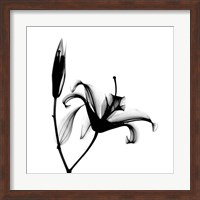 Framed Lily  + Bud X-Ray