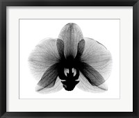 Orchid, Small  X-Ray Framed Print