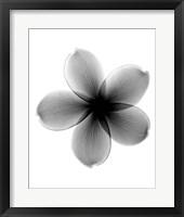 Plumeria X-Ray Framed Print