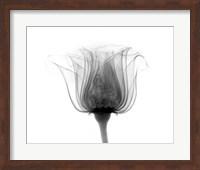 Framed Rose ,Noma X-Ray