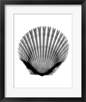 Framed Scallop #3 X-Ray