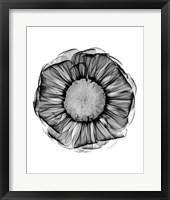 Framed Zinnia Montage Black & White X-Ray