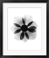 Framed Anemone  X-Ray