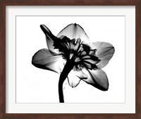 Framed Jonquil X-Ray