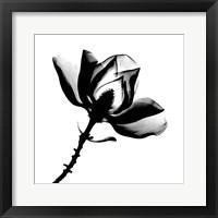 Framed Magnolia X-Ray